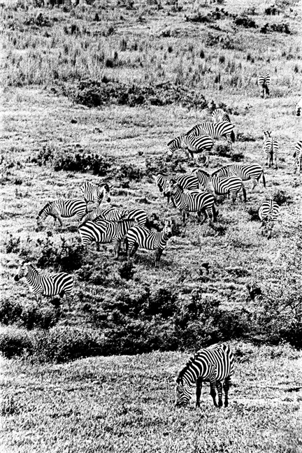 Zebra - 2, Ngorongoro 2016   Edition 2 of 2