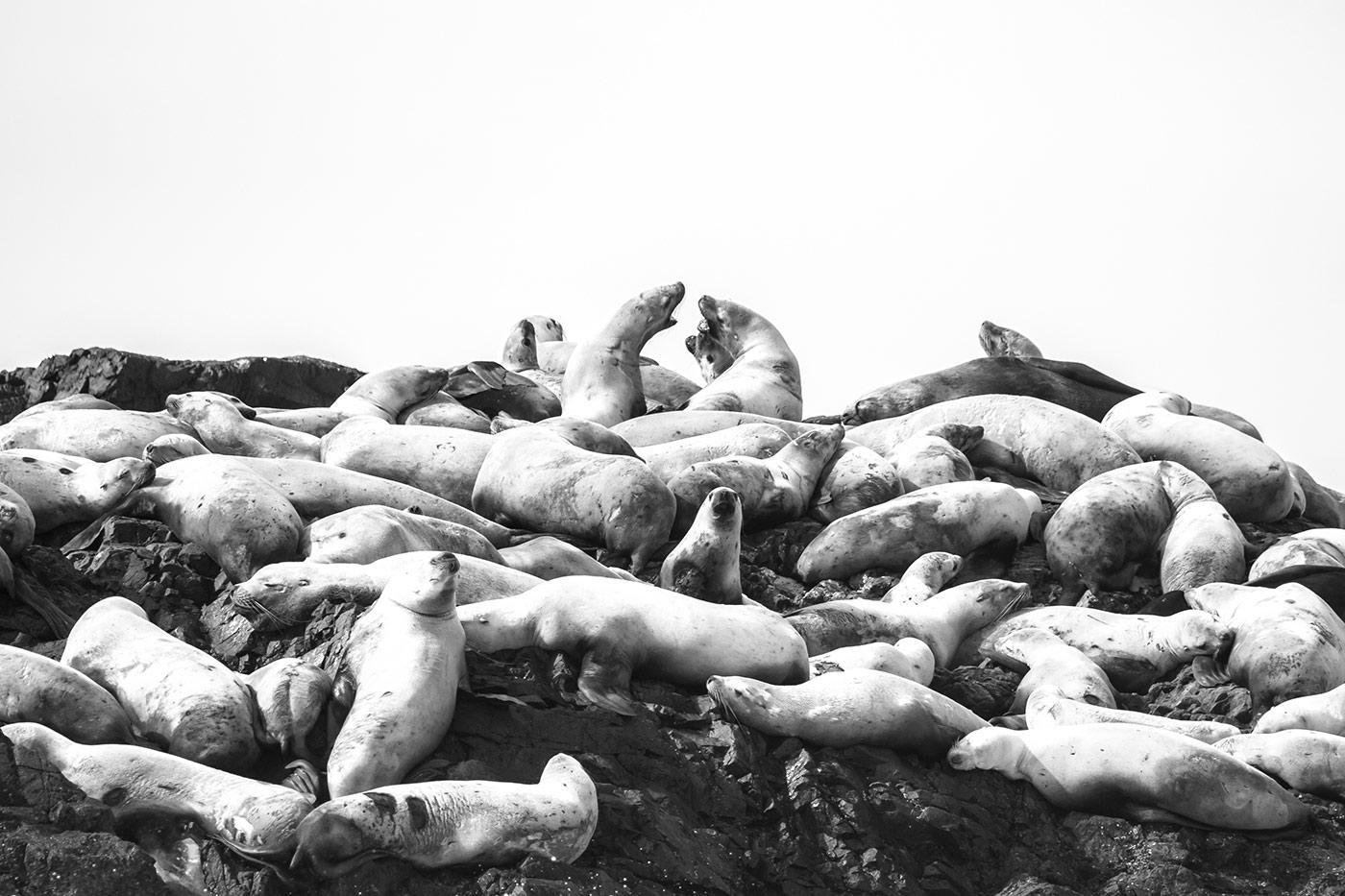 (Stinky) Stellar Sea Lions, Tofino, B.C
