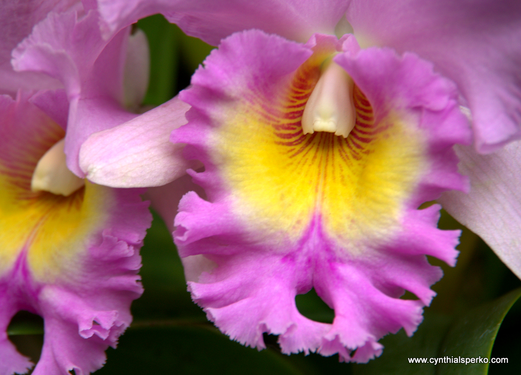 Colorful Orchid at Longwood Gardens