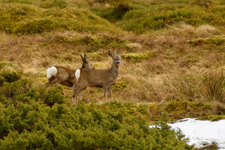 Roe, a Deer