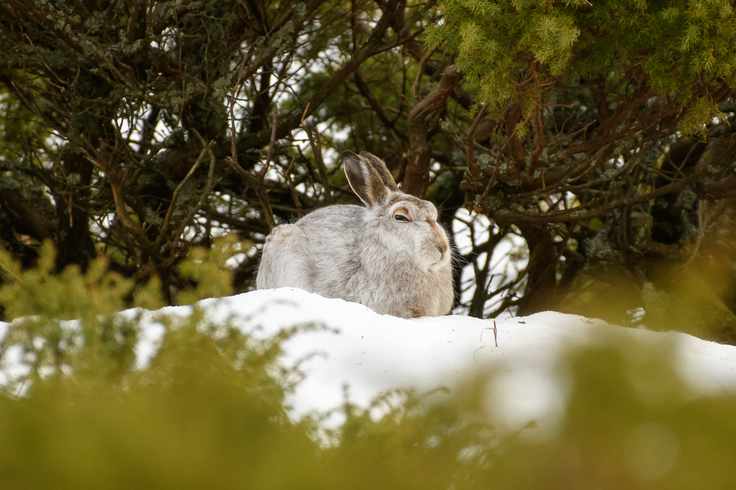 Hunkered Down Hare