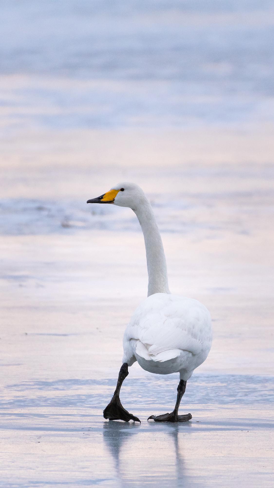Joutsen jäällä