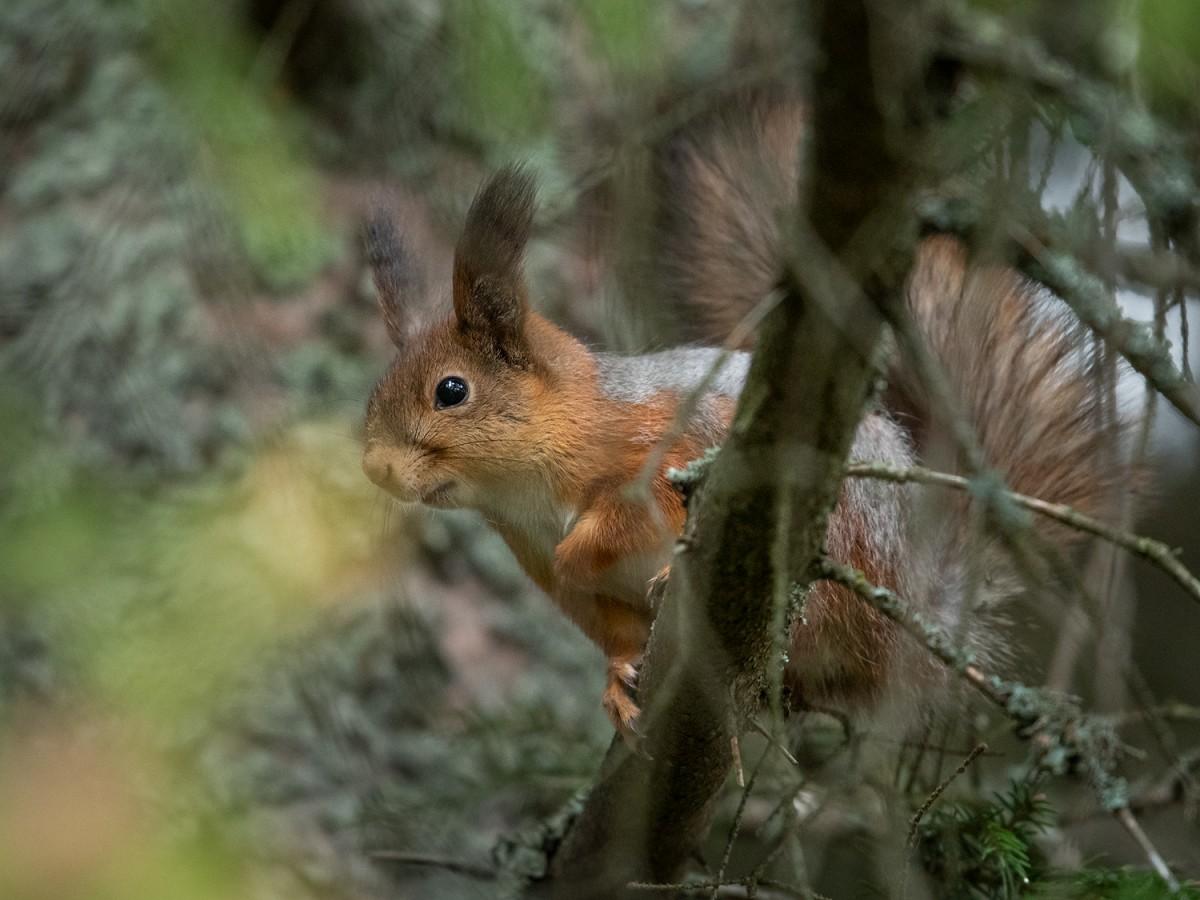 Orava kuusessa