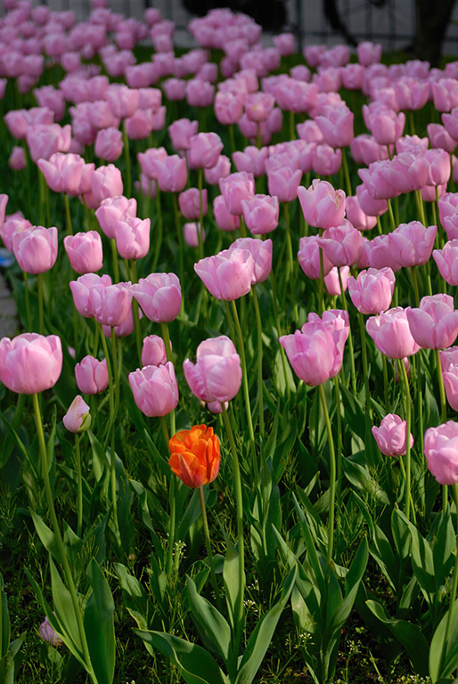 Colorful Tulips in Copenhagen