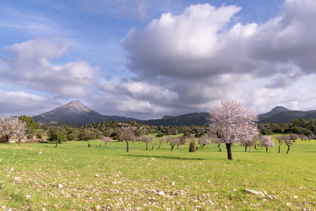 Almond Blossoms at a field in Es Capdella. Calvia. Mallorca. Balearic Islands