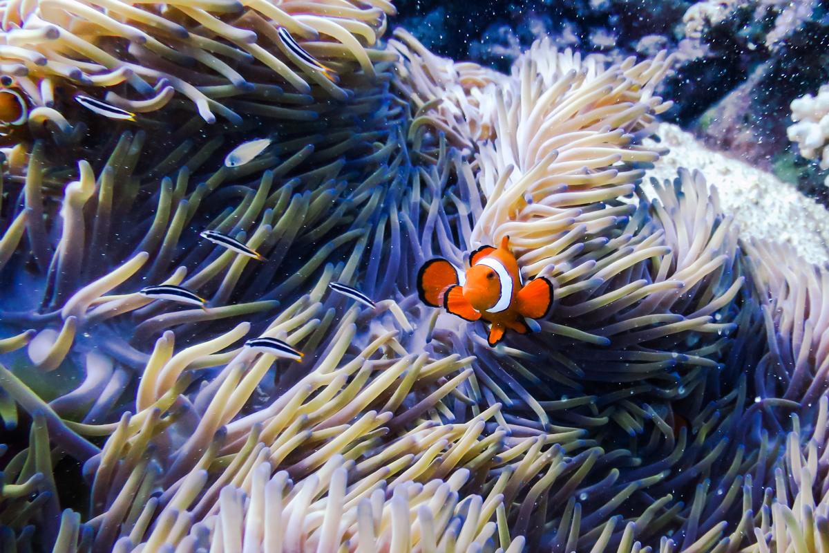Finding Nemo at the Great Barrier Reef. Queensland. Australia
