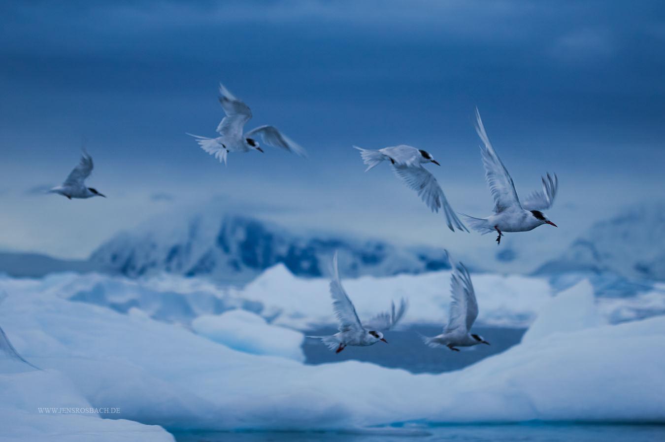 Polar Birds