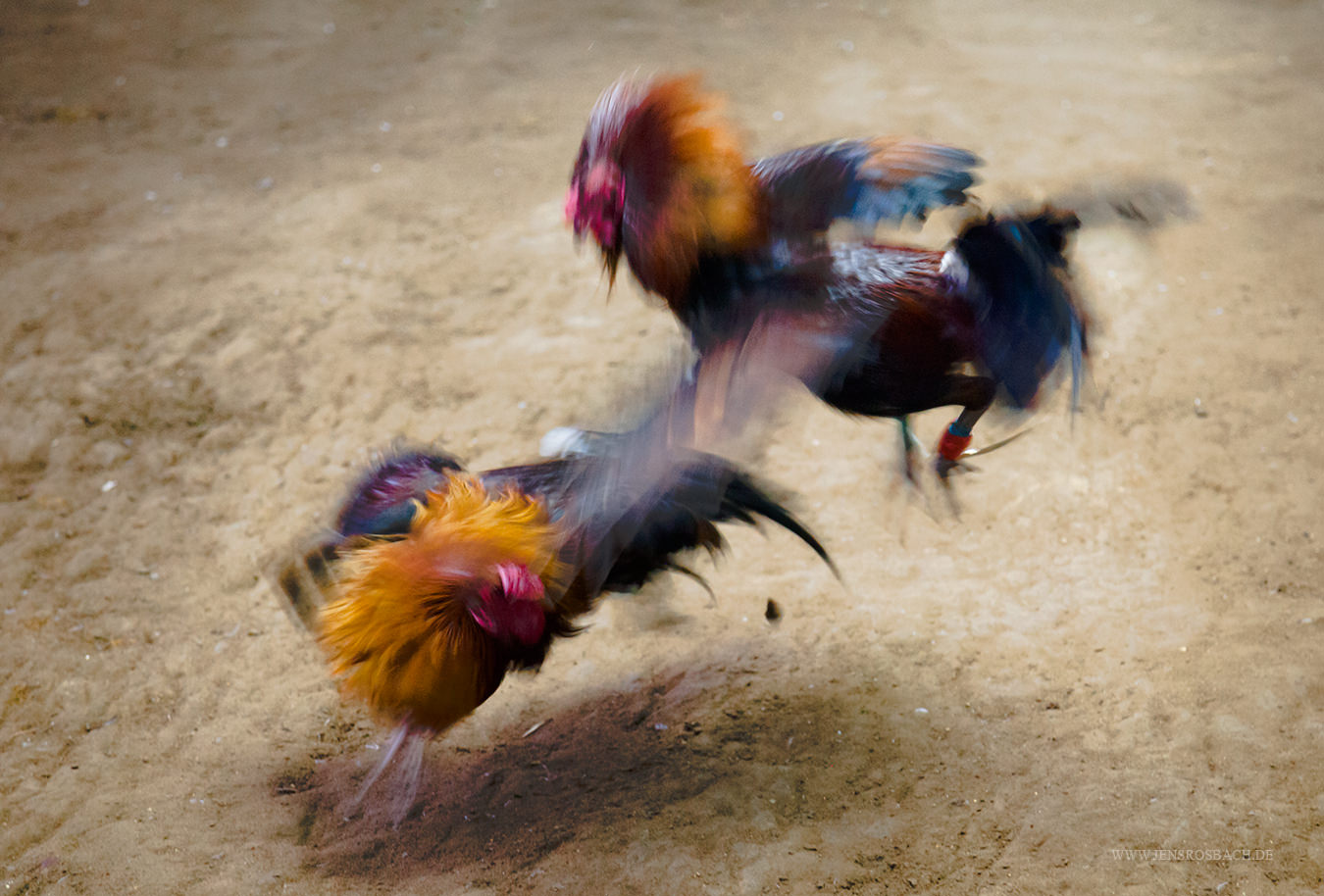 Cockfighting III