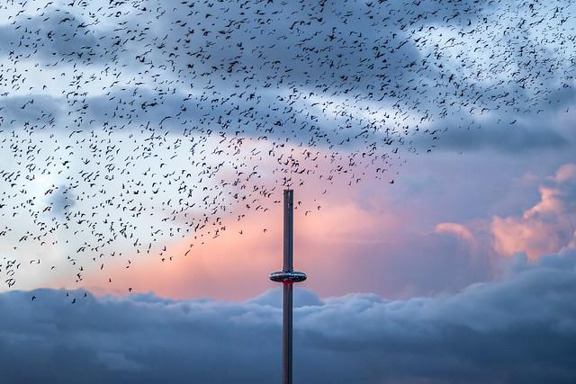 Brighton starlings murmurations