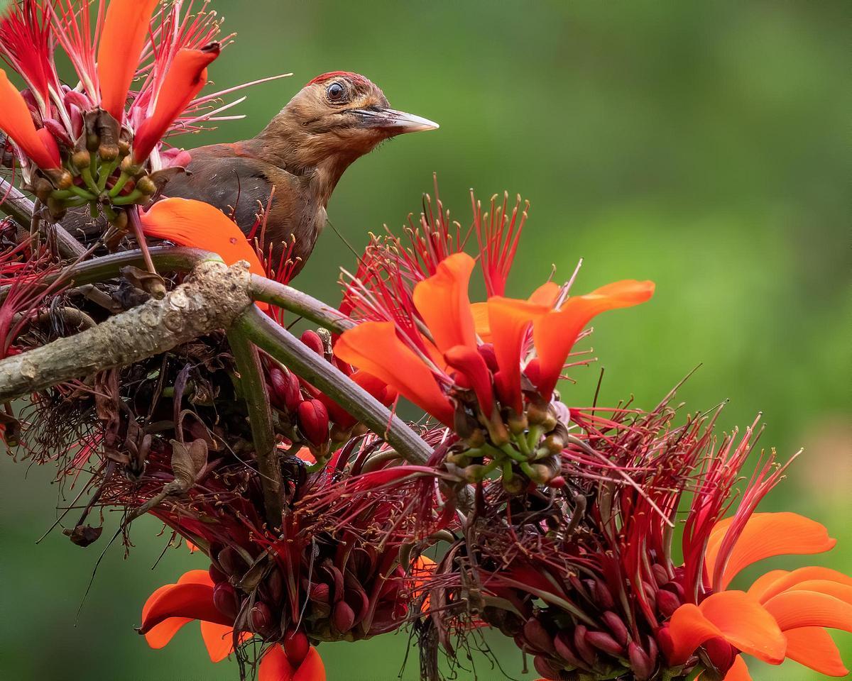 Okinawan woodpecker