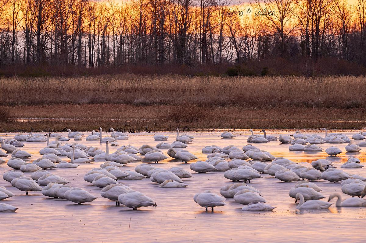 Tundra Swans at Dawn