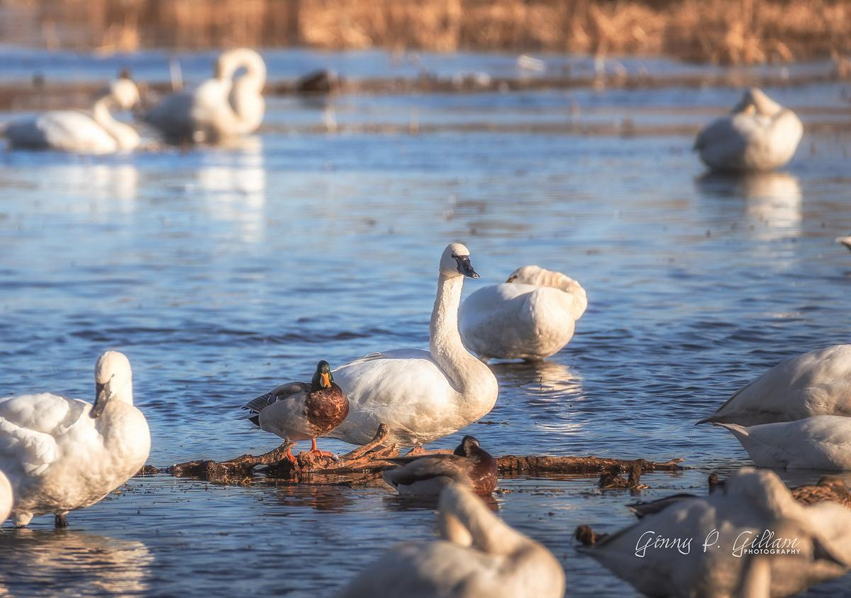 The odd couple, a Mallard drake and Tundra swan