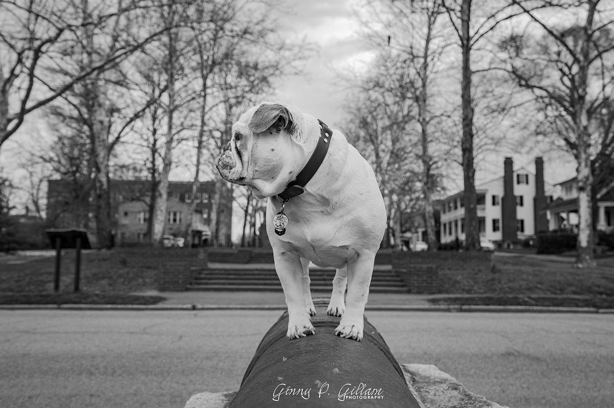 Moxie atop a historic cannon
