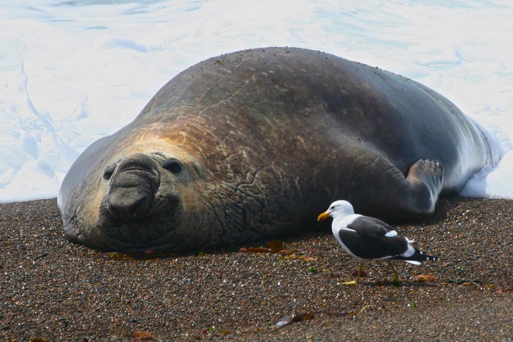 King of The Beach.  Peninsula Valdes, Patagonia.