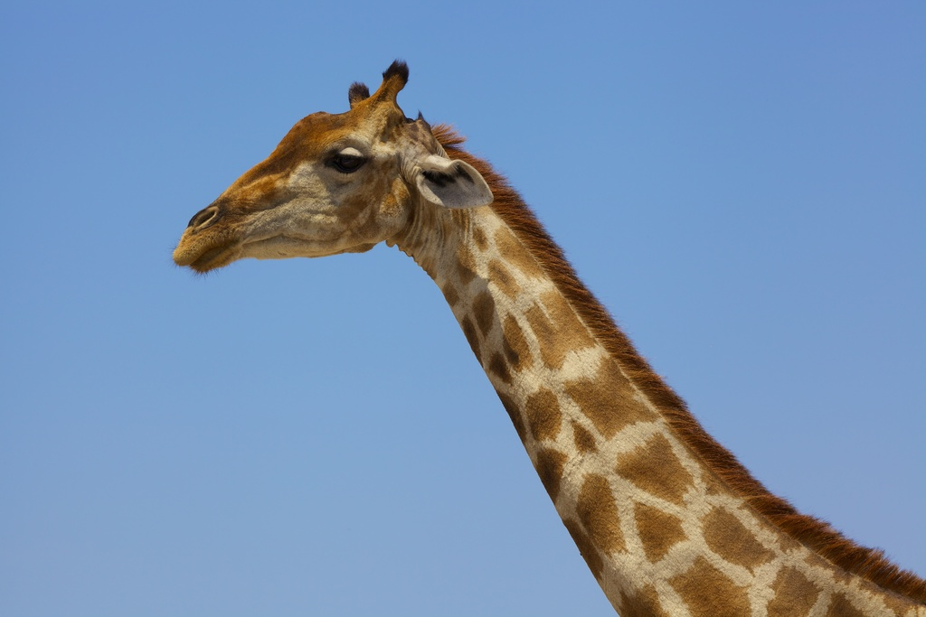 Giraffe Bull in Etosha N.P., Namibia