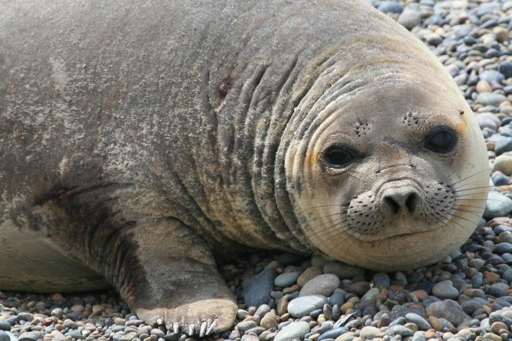 Patagonia Elephant Seal