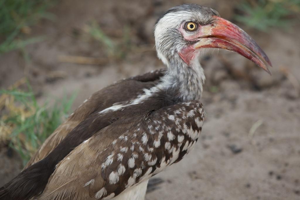 Red-billed Hornbill at Savute, Botswana