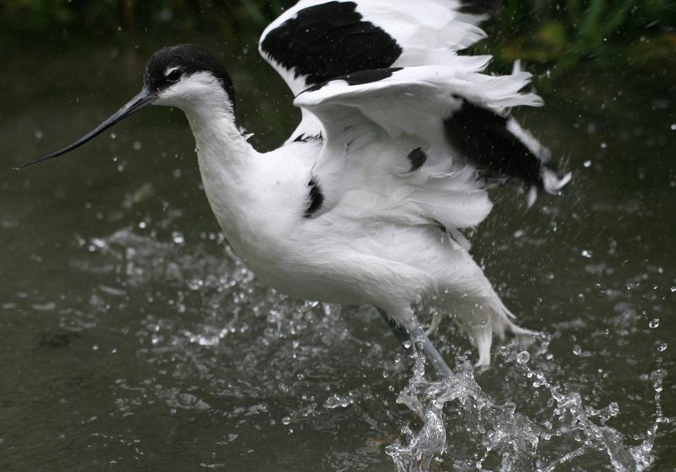 Bathing Ibis (captured)
