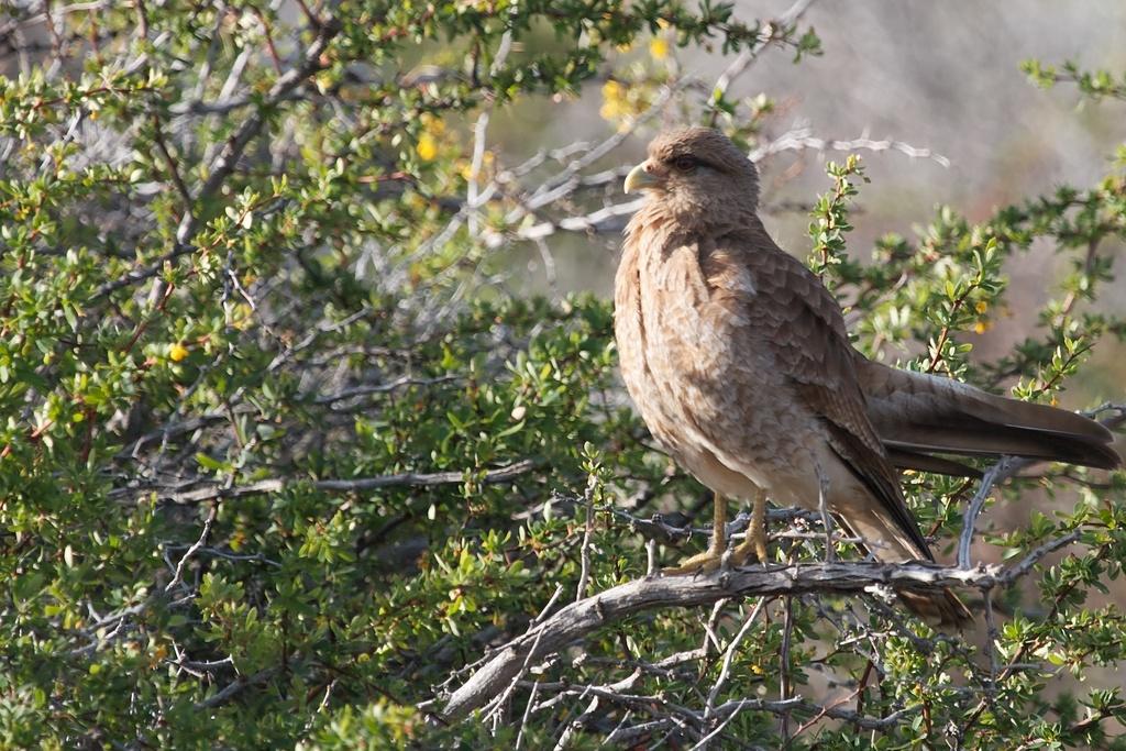 Chimango Hawk, Andes, Patagonia Argentina