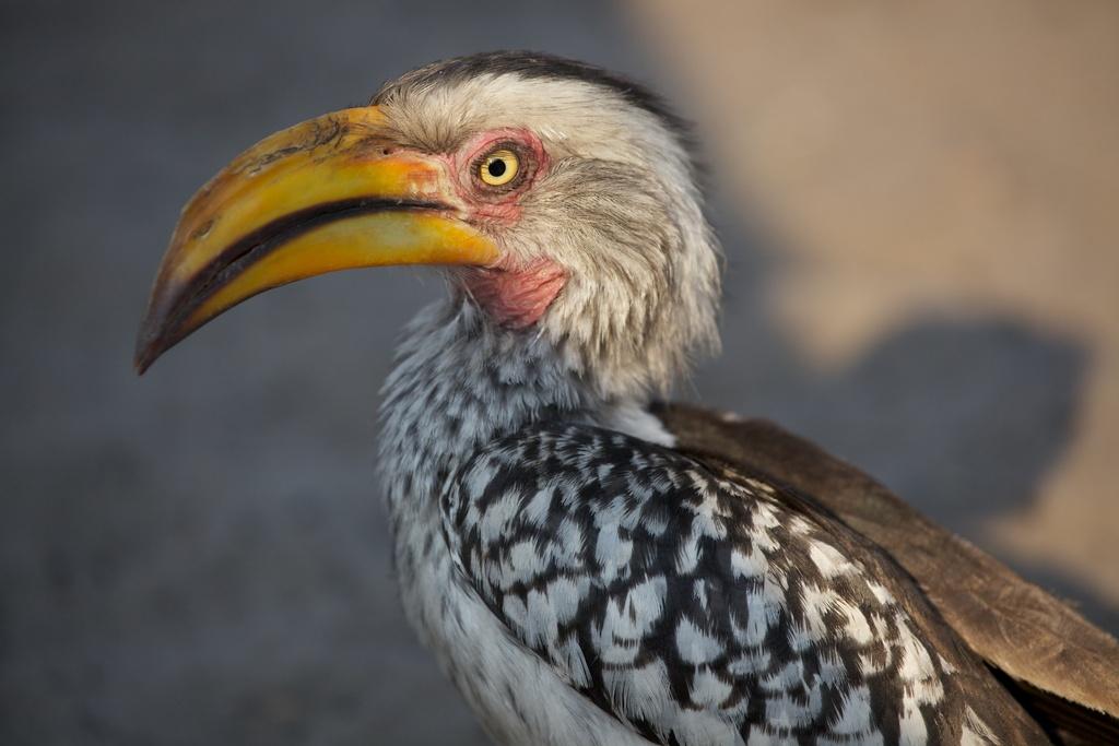 Southern Yellow-billed Hornbill, Chobe N.P. Botswana