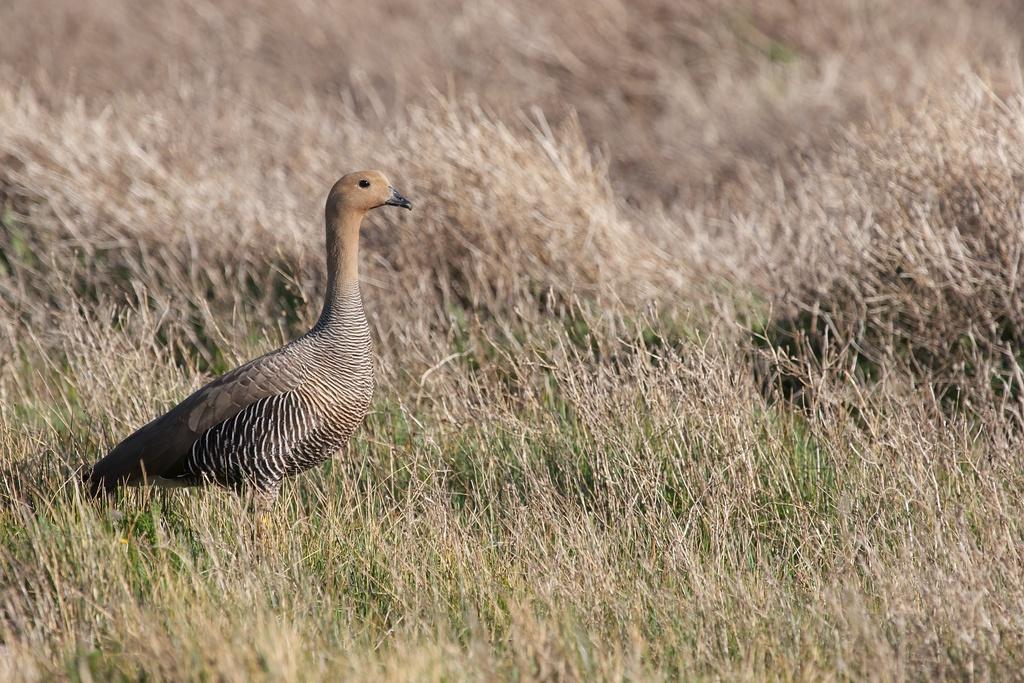 Magellan Goose, Andes