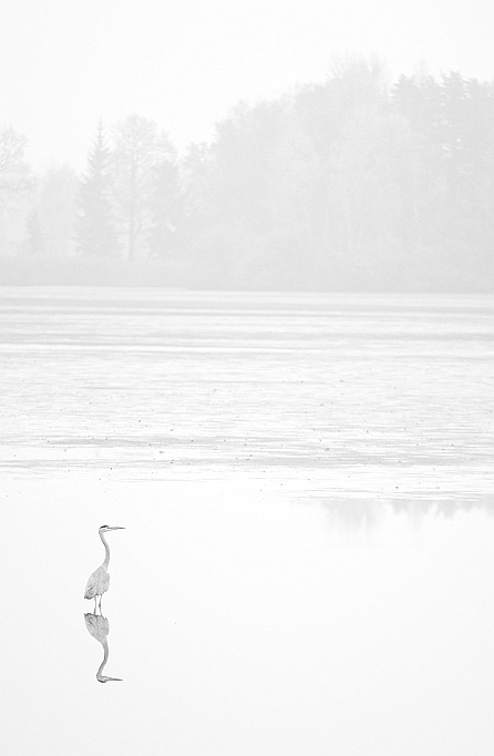 HERONS IN THE MIST