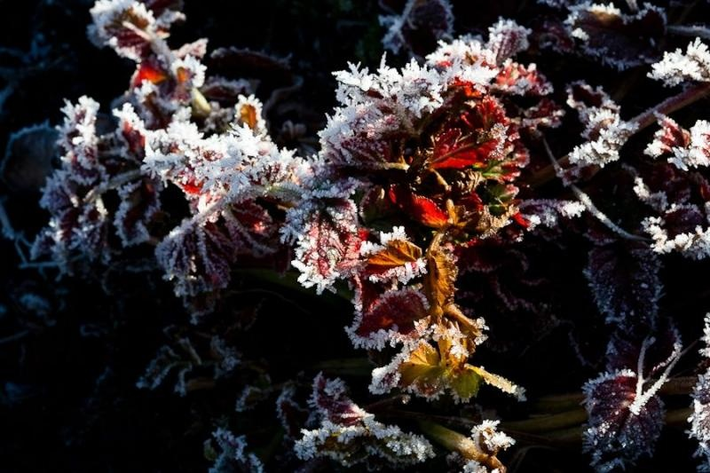 frost on leaves, catlins,  new zealand, 2010