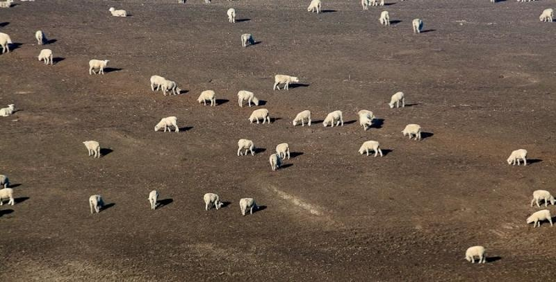 sheep on the mountainside, new zealand, 2010