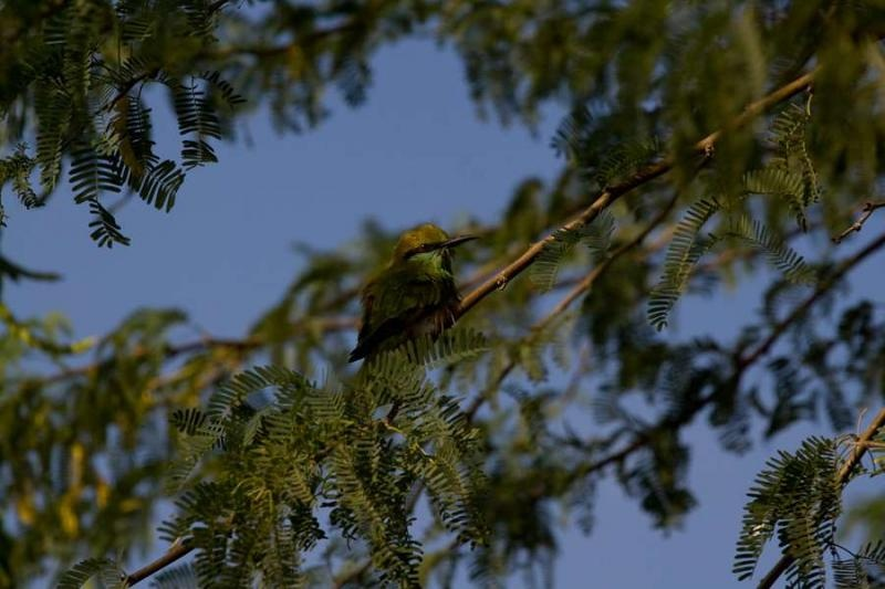 bee eater, rajasthan, 2010
