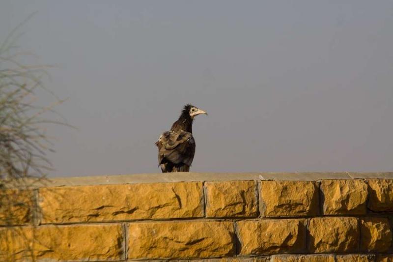 vulture, jaisalmer, 2010