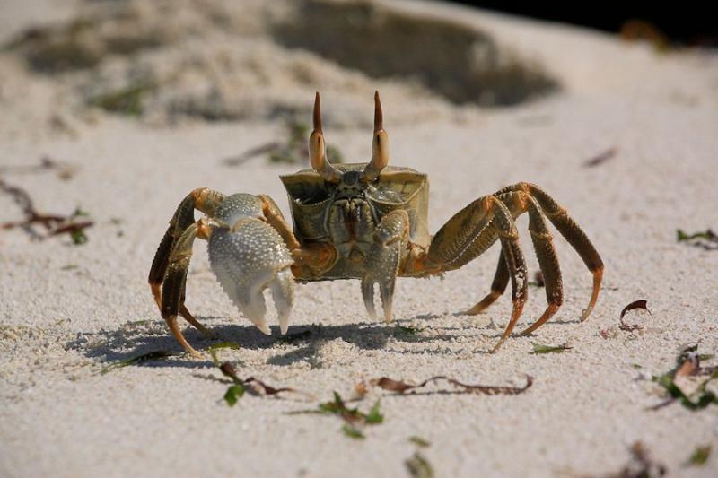 crab, bangaram island, lakshadweep, 2008