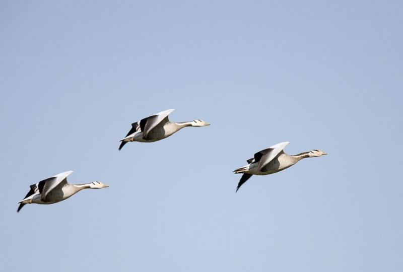 bar headed geese, kaziranga, 2006