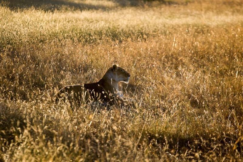 resting lioness, masai mara, 2009