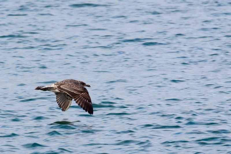 flying gull, otago, new zealand, 2010
