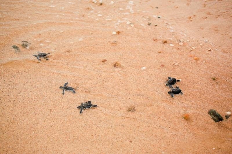 baby turtles, borneo, 2007