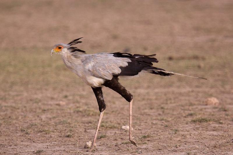 secretary bird, amboseli, kenya, 2009