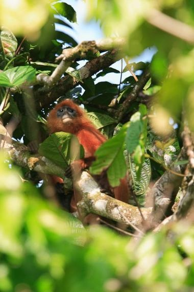 red leaf monkey, borneo, 2007