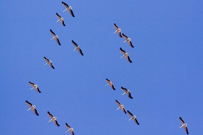 pelicans, lake nakru, kenya, 2009