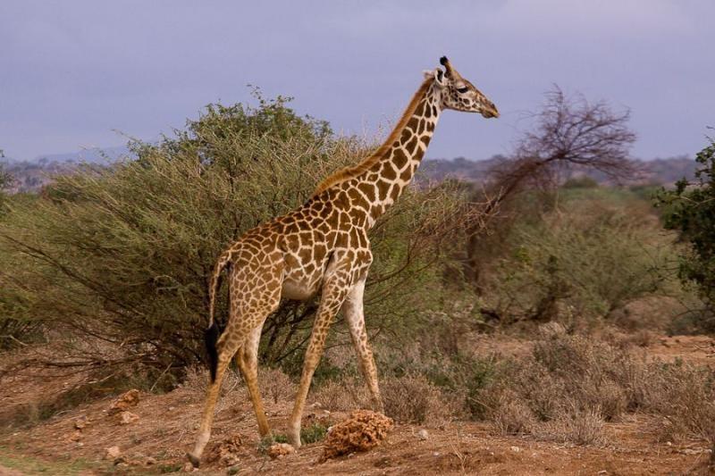 giraffe, amboseli, kenya, 2009