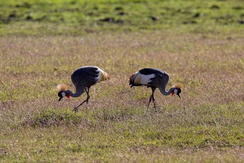 crowned cranes, amboseli, kenya, 2009