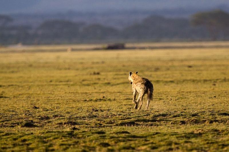 hyena, amboseli, kenya, 2009