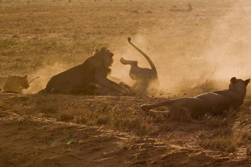 two male lions fighting over a kill, tsavo, kenya, 2009