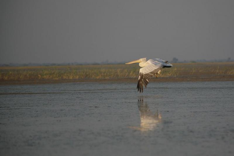 pelican, nalsarovar, 2007