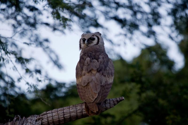 eagle owl, tsavo, kenya, 2009
