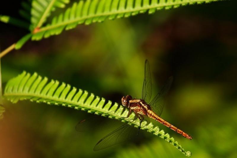 dragonfly, borneo, 2007