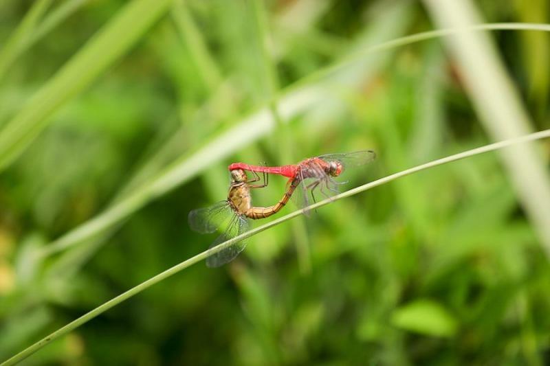 mating dragonflies, mizoram, 2009