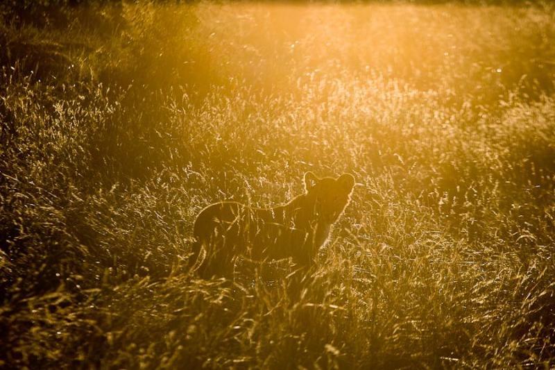 lion cub, masai mara, 2009