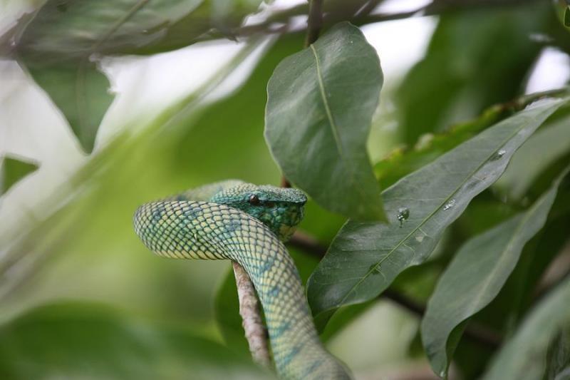 pit viper, borneo, 2007