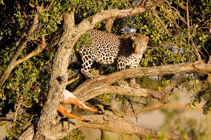 leopard on a tree, masai mara, 2009