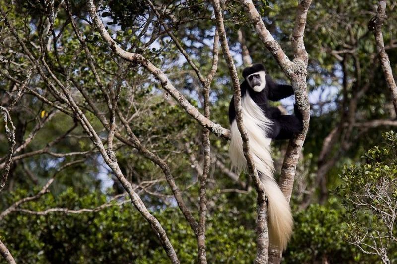 colubus monkey, aberdare, kenya, 2009